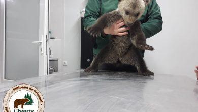 """Photo of Petiție împotriva amenzii primite de """"Prietenii Berzelor"""" care au salvat două ursoaice de două luni"""