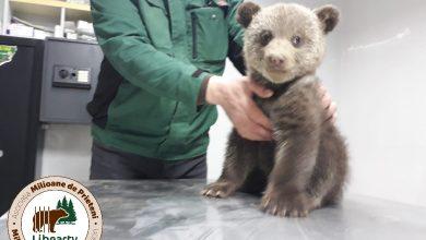 Photo of Două ursoaice de două luni și-au așteptat mama, o noapte întreagă, într-o gospodărie din Biertan