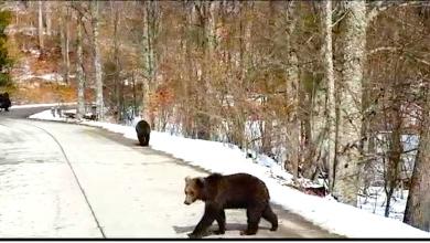 """Photo of Urși ieșiți la """"cerșit"""", la marginea șoselei"""