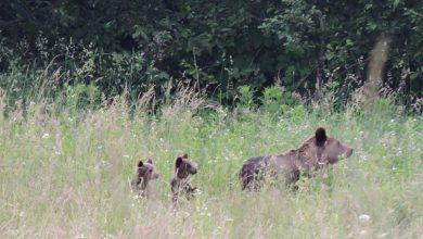 """Photo of 11 urși, la plimbare printre gospodării. Primarul comunei Porumbacu de Jos: """"Observăm că urșii devin din ce în ce mai îndrăzneți!"""""""