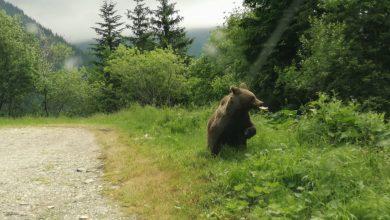 """Photo of Urs pe Transfăgărășan! ISU Sibiu: """"Evitați zona, nu hrăniți animalul!"""""""