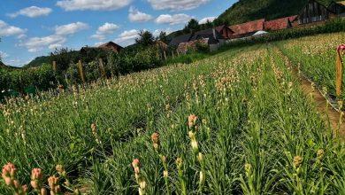Photo of VIDEO| Cel mai bun somnifer natural, descoperit la 25 de kilometri de Mediaș