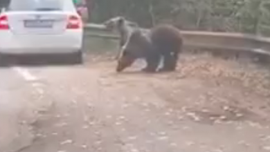 Photo of VIDEO| Urșii de pe Transfăgărășan au ajuns tocmai la Iași